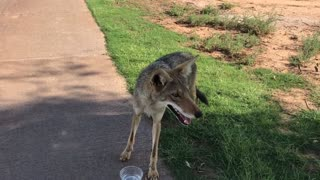 Golfers Provide Thirsty Coyote with Water - Video