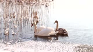 A beautiful family of swans swims in a winter lake