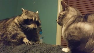 Raccoon frustrated that cat won't play with her
