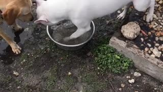 White dog digging water