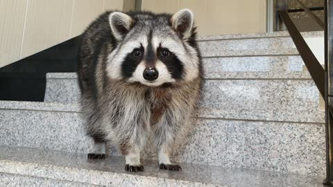 The raccoon steals the bait and pretends not to know