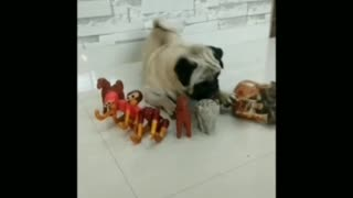 White pug lay on floor best friend tiger toy