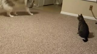 Adorable Husky VS Laser  - Video
