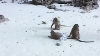 Three brown monkeys play on a beach and chase tourists  - Video