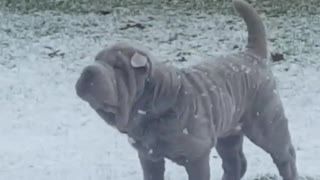 Shar Pei catches falling snowflakes like a child!