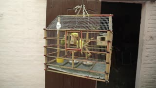 Listen and watch a very cool video of a group of parrots in the cage