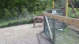 Donkey Falls In Love With Zoo Visitor, But Watch What Happens When Llama Tries - Video
