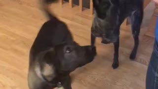 Synchronized Dog Training
