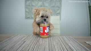 Munchkin the Teddy Bear loves peanut butter! - Video