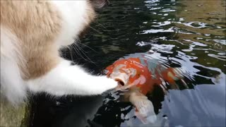 Cat adorably befriends koi fish - Video