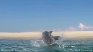 Great white shark jumps to catch seal