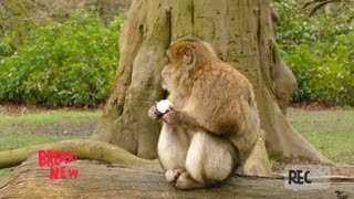 Adorable Monkey sitting and eating Apple