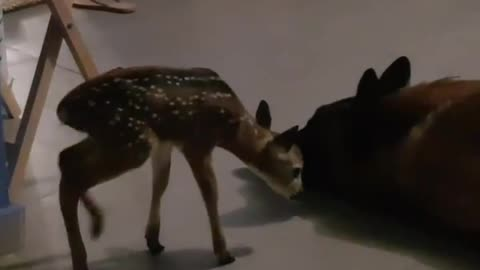 Dog and orphaned fawn share an incredible bond