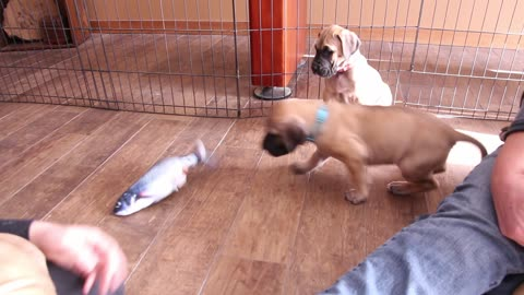Adorable Great Dane puppy with floppy fish