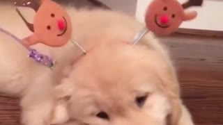 Little cute golden like to play all day - Video