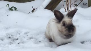 Adorable bunny leaps around in the snow!  - Video