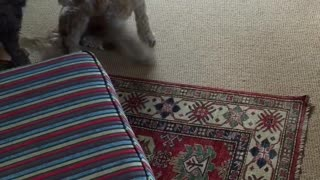 Tan brown dogs play on couch and carpet together  - Video