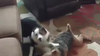 2 Dogy Playing Fight