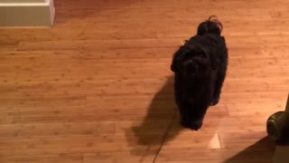 Black dog doesnt want to go out dragged by leash