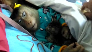Monkey cuddles kitten she rescued herself