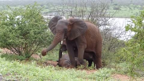 Elephants (almost) drowning while crossing the River
