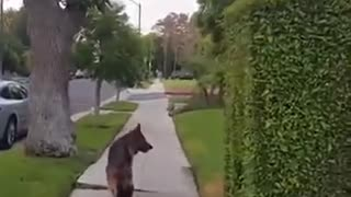 Dog realizes owner isn't behind him any more.