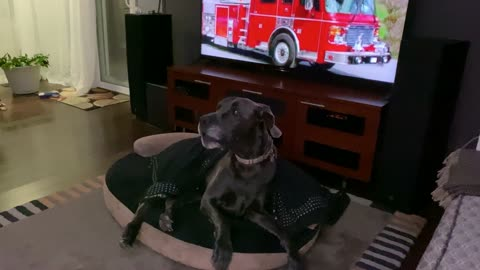 Sleepy Great Dane wakes up to howl at fire truck