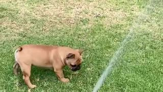 This Frenchie is learning how to play with the sprinkler system