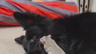 Pet rat absolutely loves his doggy best friend