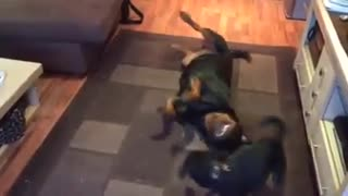 Small Dog Vs Rottweiler - Video