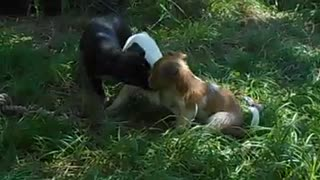 Puppys enjoy playing together - Video