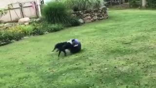 Black and white dogs hit purple exercise ball around back yard - Video