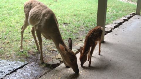 Wild deer introduces fawn to human caretaker
