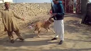 Amazing powerful bully dog in Pakistan  - Video