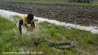 Terrifying!! Brave Brothers Catch Very Big Snakes Nearby Tractor While Plowing The Fields