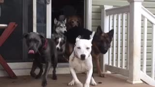 Glass sliding door opens and a bunch of dogs run out of patio