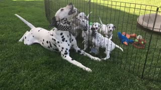 Dalmatian father plays with puppies through safety of pen