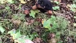 Dog jumping and rolling down hill in slow motion