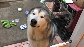 Alaskan Malamute Ransacks Garbage And Shows No Remorse