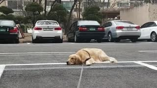 Exhausted Dog Quits Walk, Lays Down To Recharge Batteries - Video