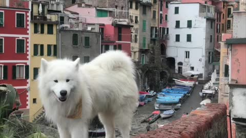 Cute Samoyed's travel adventures in Italy