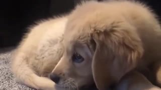 try to catch this little golden dog - Video