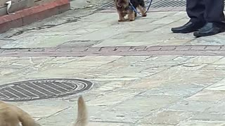 Small brown puppy on leash barking loudly