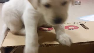 Small white puppy dog falls off of box backwards