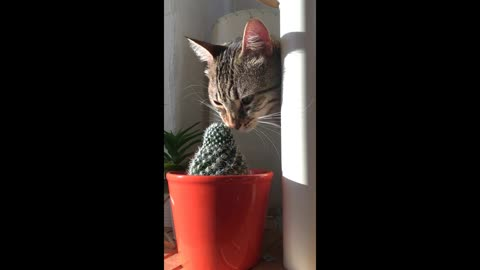 Silly Cat Uses Cactus To Scratch Her Face