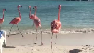 Flamingos limbering up in Aruba!  - Video
