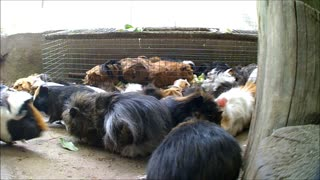 Guinea pigs having a feast  - Video