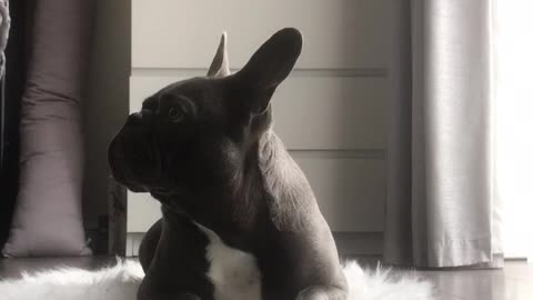 Frenchbulldog farts while attempting leave it challenge.