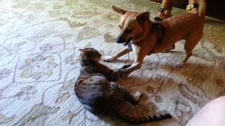 Dog And Cat Engage In Friendly Wrestle Battle - Video