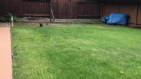 Slow motion dachshund running